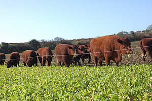 Our Red Ruby Cattle grazing
